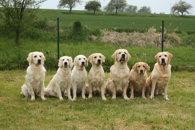 A line of Golden retrievers at the 'Guisachan Gathering'