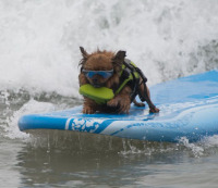 A dog riding a surfboard