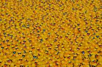 sponsored rubber ducks preparing for a Duck Race