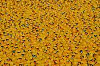 sponsored rubber ducks preparing for a Duck Race