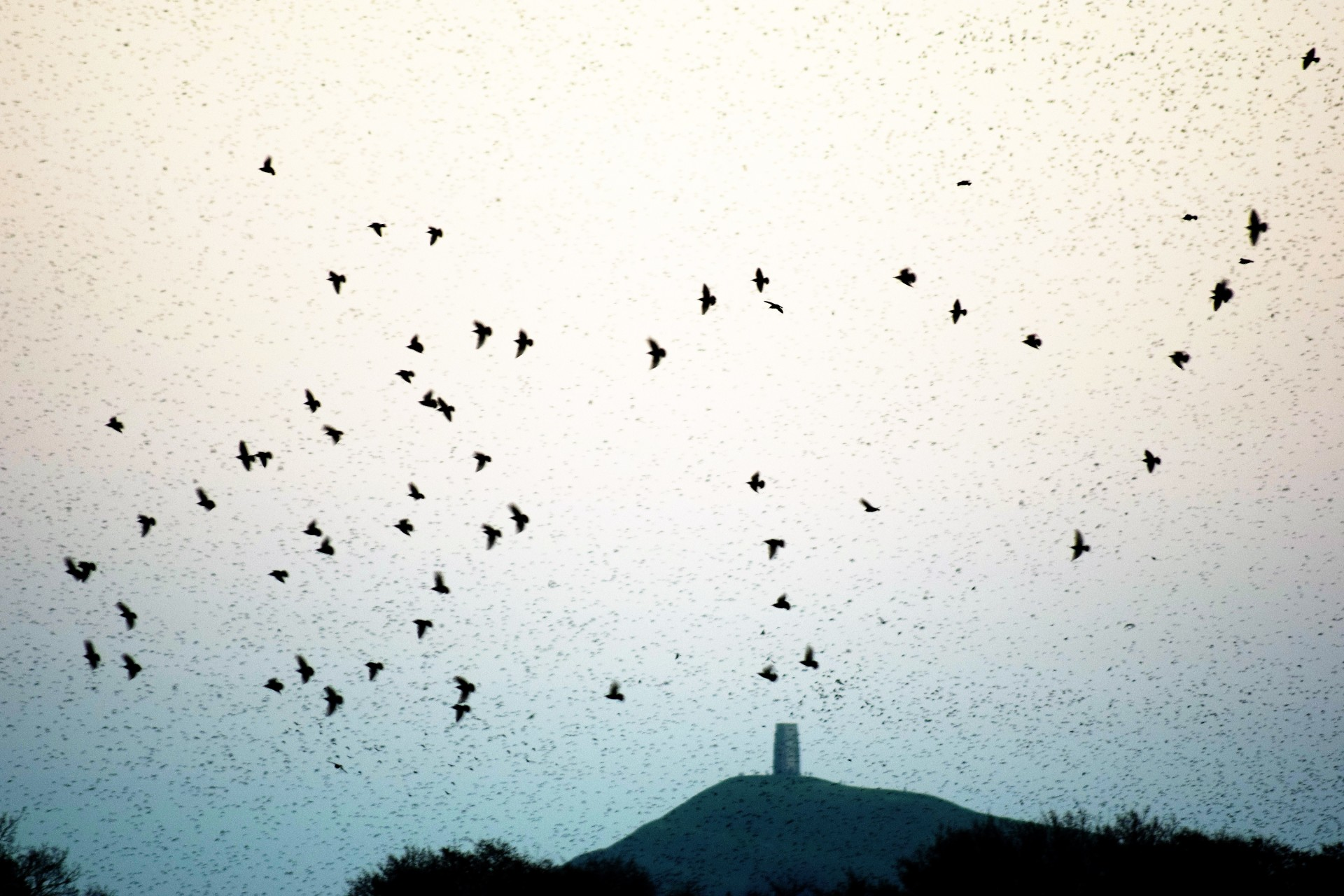 Glastonbury's Starlings
