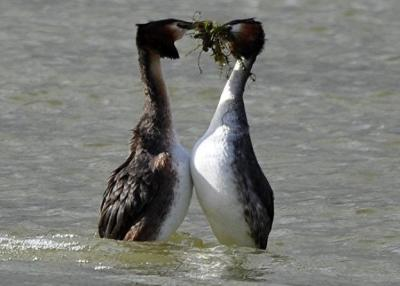 Courting Grebes