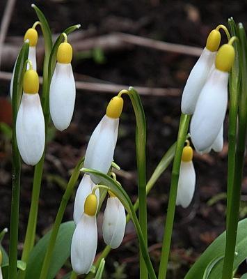 Galanthus woronowii Elizabeth Harrison