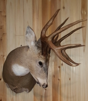 Fins and Fur Taxidermy Whitetail Buck