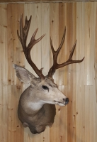 Fins and Fur Taxidermy Mule Deer Buck mount