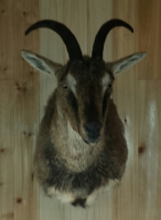 Fins and Fur Taxidermy Texas Ibex mount