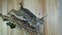 Fins and Fur Taxidermy lifesize bobcat mount