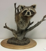 Fins and Fur taxidermy raccoon pedestal mount