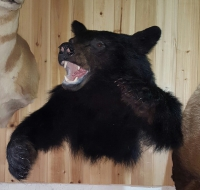 Black Bear aggresive mount fins and fur taxidermy