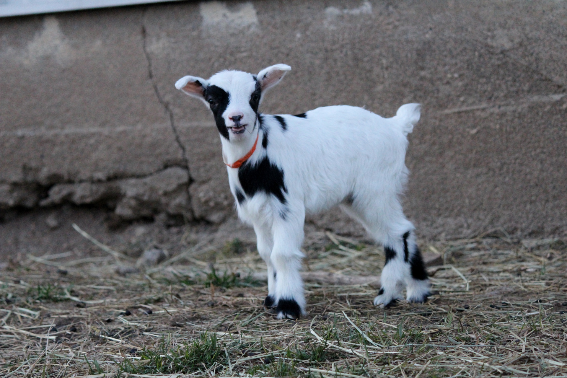 Goat Tails