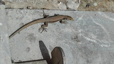 One of the resident Lizards