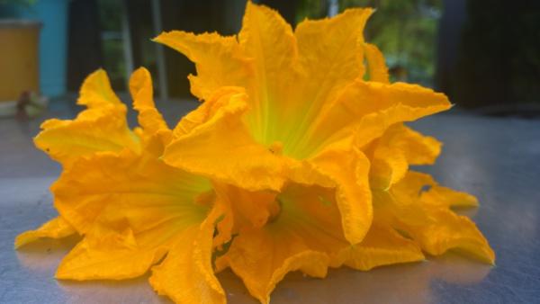 Zucchini flower- both beautiful and edible