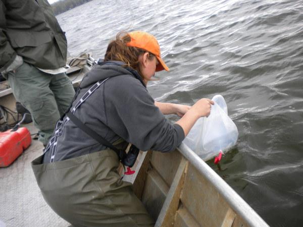 Walleye Stocking Lake Minnewawa