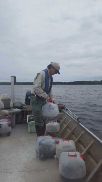 "May 21st Greg Berg and myself stocked 1.1 million walleye in Lake Minnewawa. This will be the last year of stocking till samples can be taken to determine if the stocked walleye are reproducing. On the same day actually that night I assisted Aitkin fisheries in electro fishing on Lake Minnewawa to take samples of bass and walleye. Scale samples were taken from all bass that were taken as well as samples of 4"" to 5"" walleyes to determine the age of the fish. I would like to thank the Aitkin county fisheries for the opportunity to experience this."
