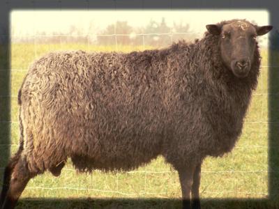 New 100% NZ Gotland Ram arriving in June