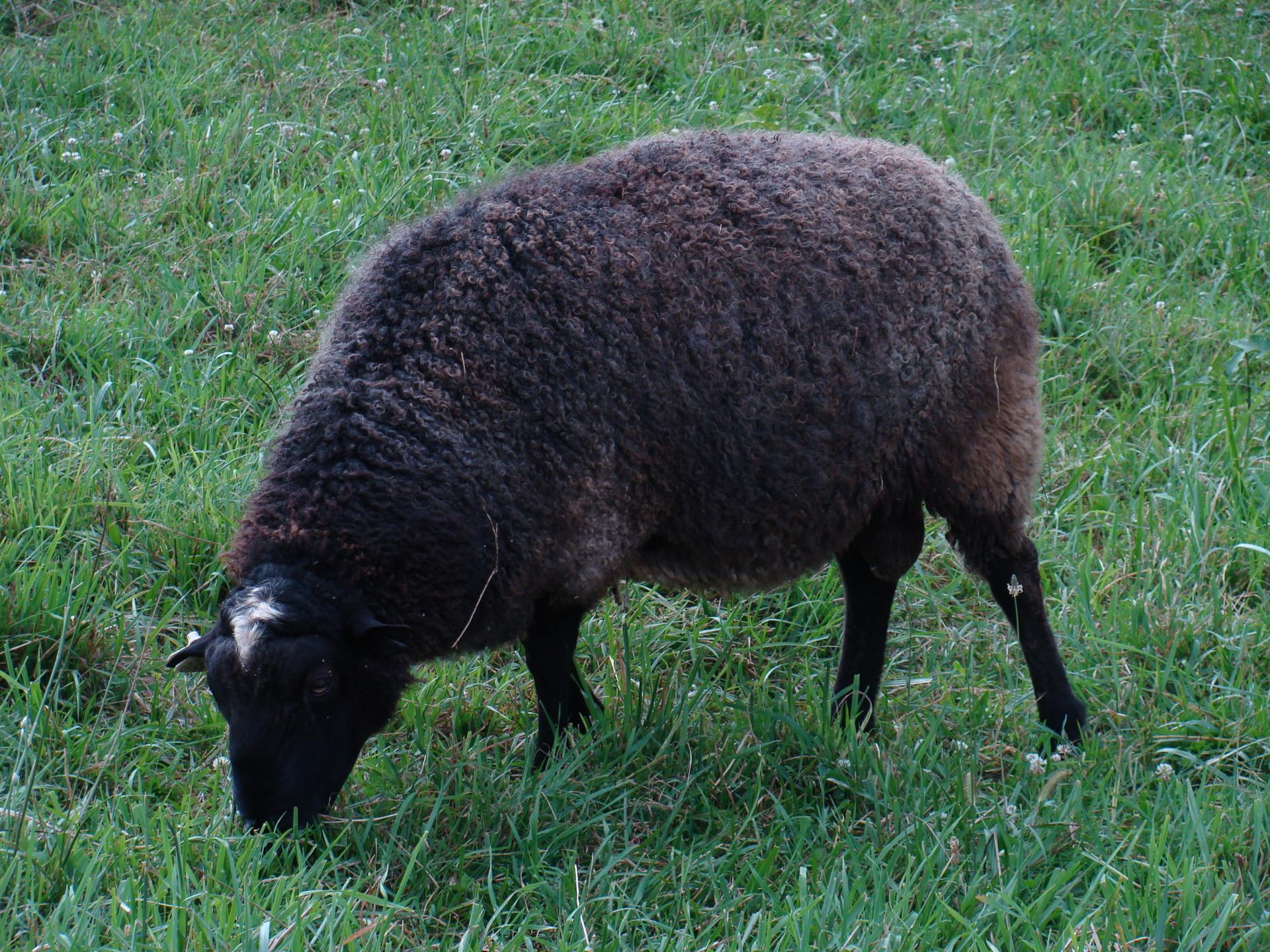 Abram 100 % New Zealand Gotland Ram