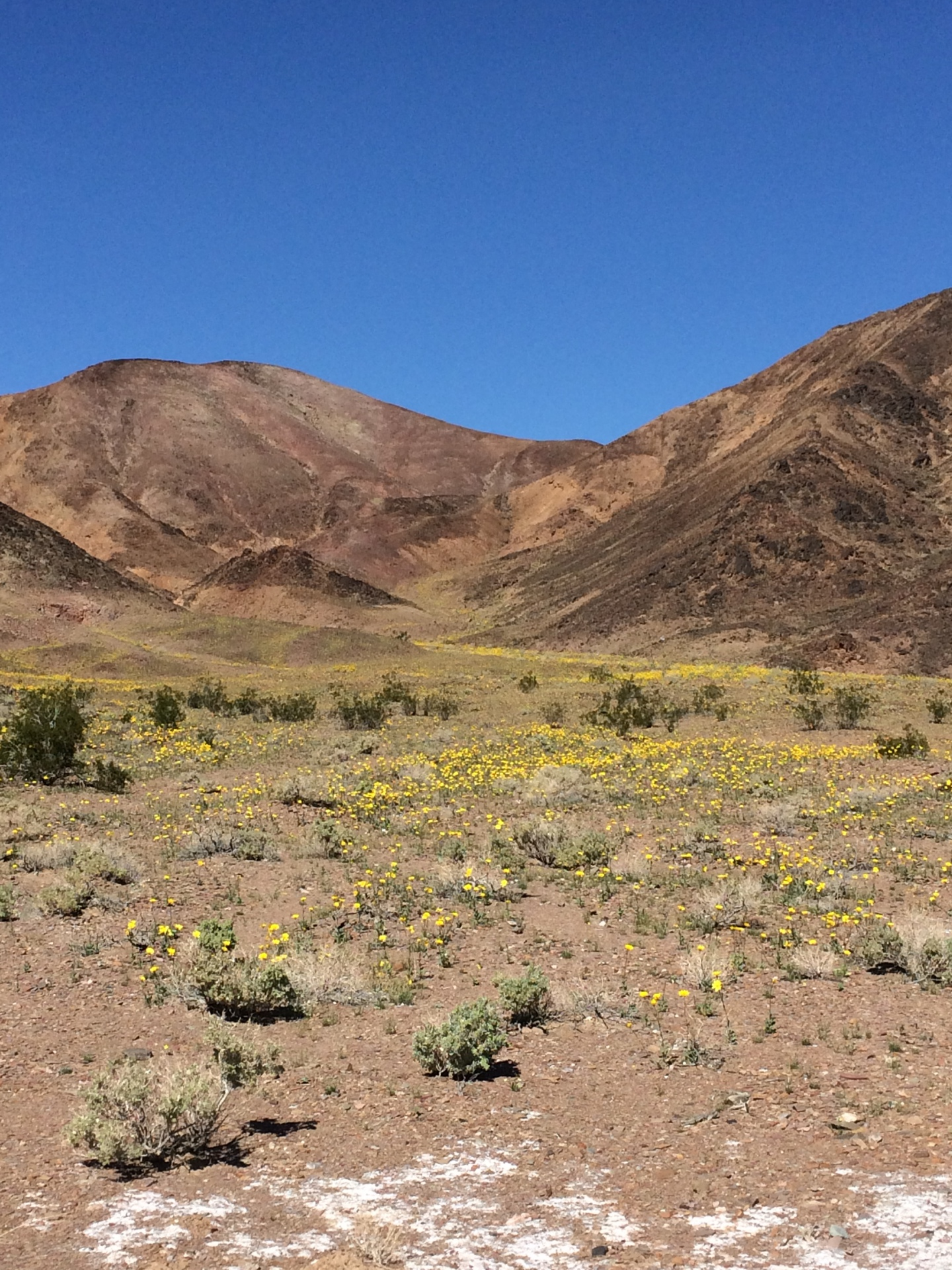 Death Valley Bloom, Death Valley National Park
