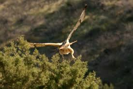Falcon in Aravaipa Canyon, Arizona