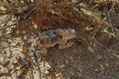 Horned Toad, Mojave National Preserve