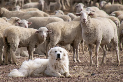 Why are sheep dogs smarter than executives?