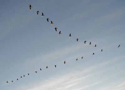 Aligning a team-lessons from Canada geese