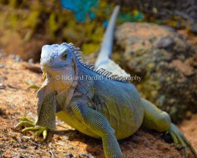 Iguana 4
