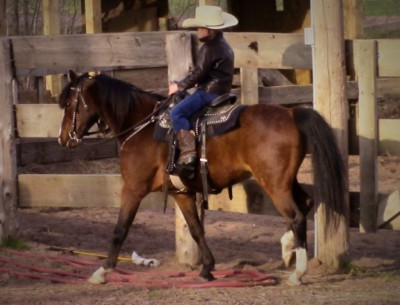 Riding & Driving  Hackney Gelding