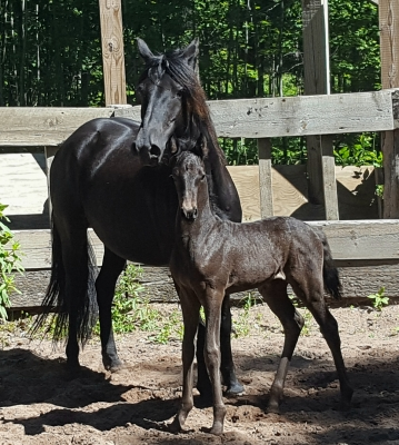 Jet Black Morisian Filly