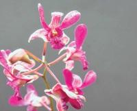 Laila Orchid