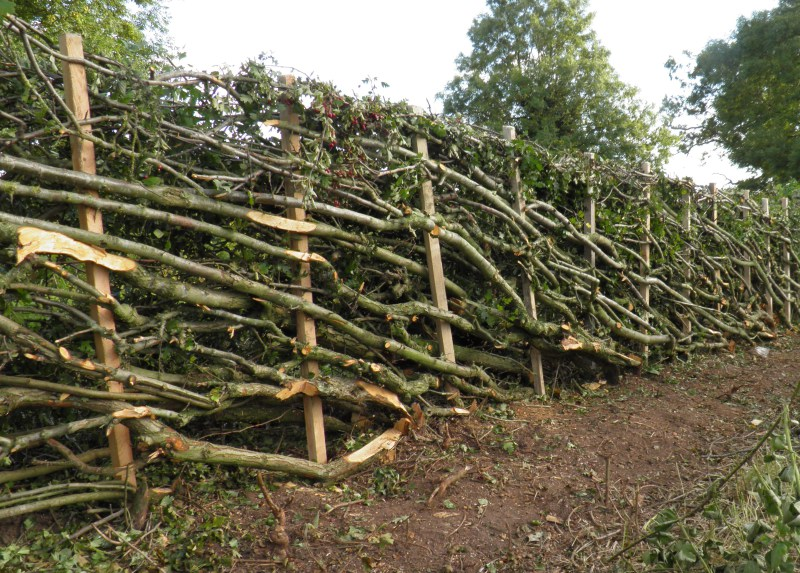 hedge laying stafford staffordshire