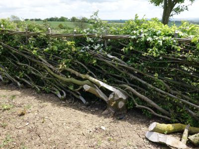 laid hedge, midlands hedge laying