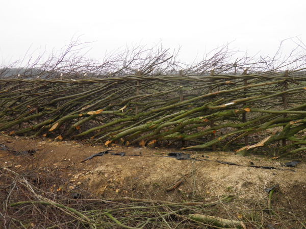 hedge laying, midlands hedge