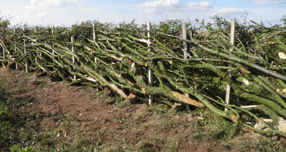 hedge laying stafford stone hedge