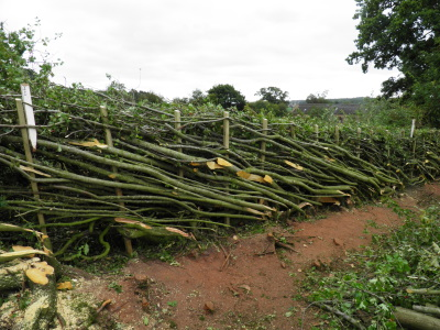 hedge laying, laid hedge, staffordshire