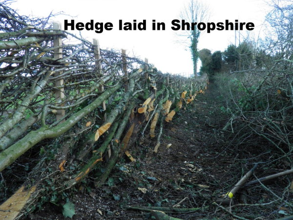 hedge laying shropshire