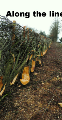 laid hedge hedgelaying stafford
