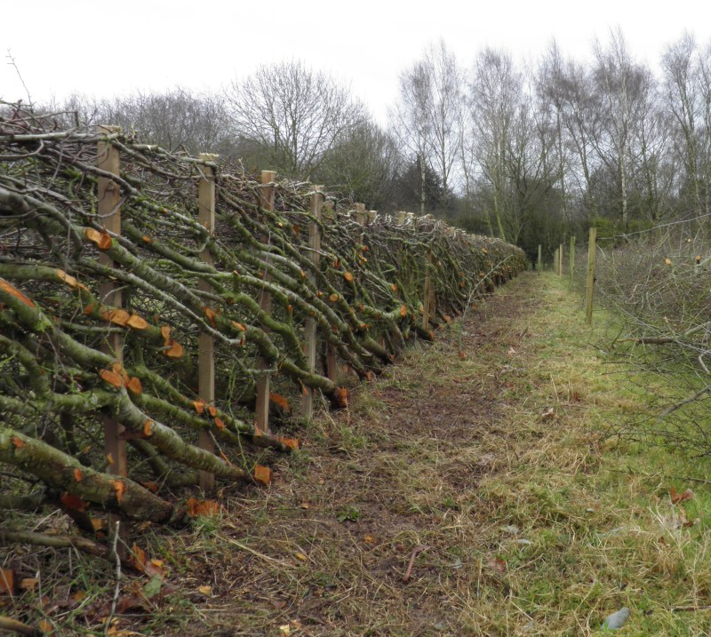 hedge laying stafford staffordshire