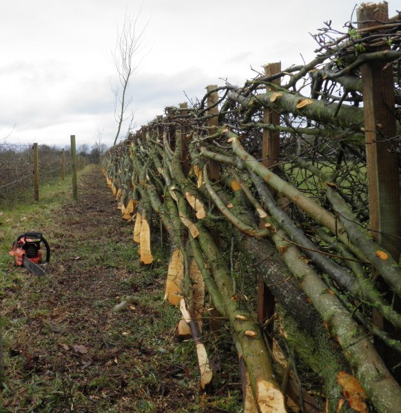 hedge laying staffordshire