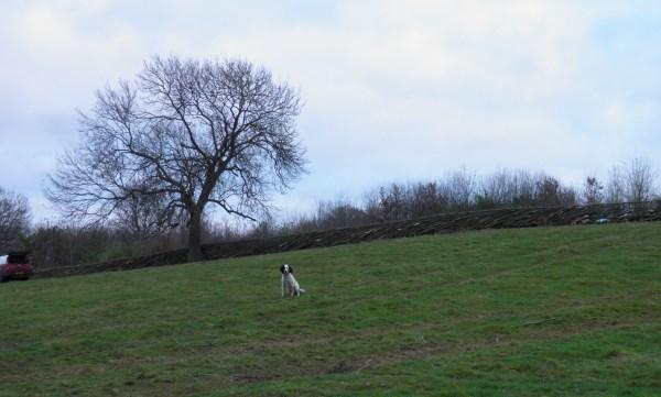hedge laying, midlands hedge