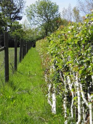 laid hedge, midlands hedge laying