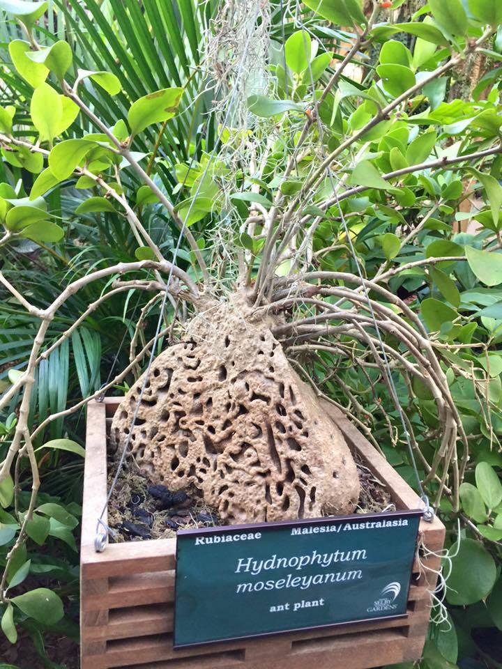 The Ant Plant  ( Hydnophytum moseleyanum )