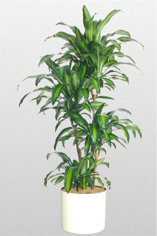 Corn Plant - Dracaena Fragrans Massangeana