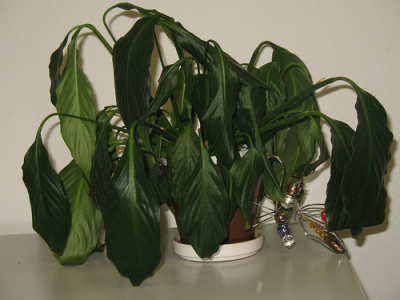 Signs of dehydration and over watering!