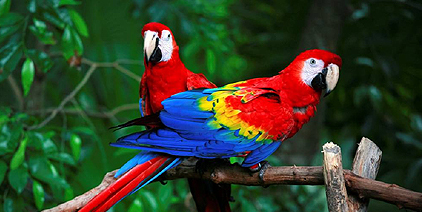 Macaws in Peruvian Amazon