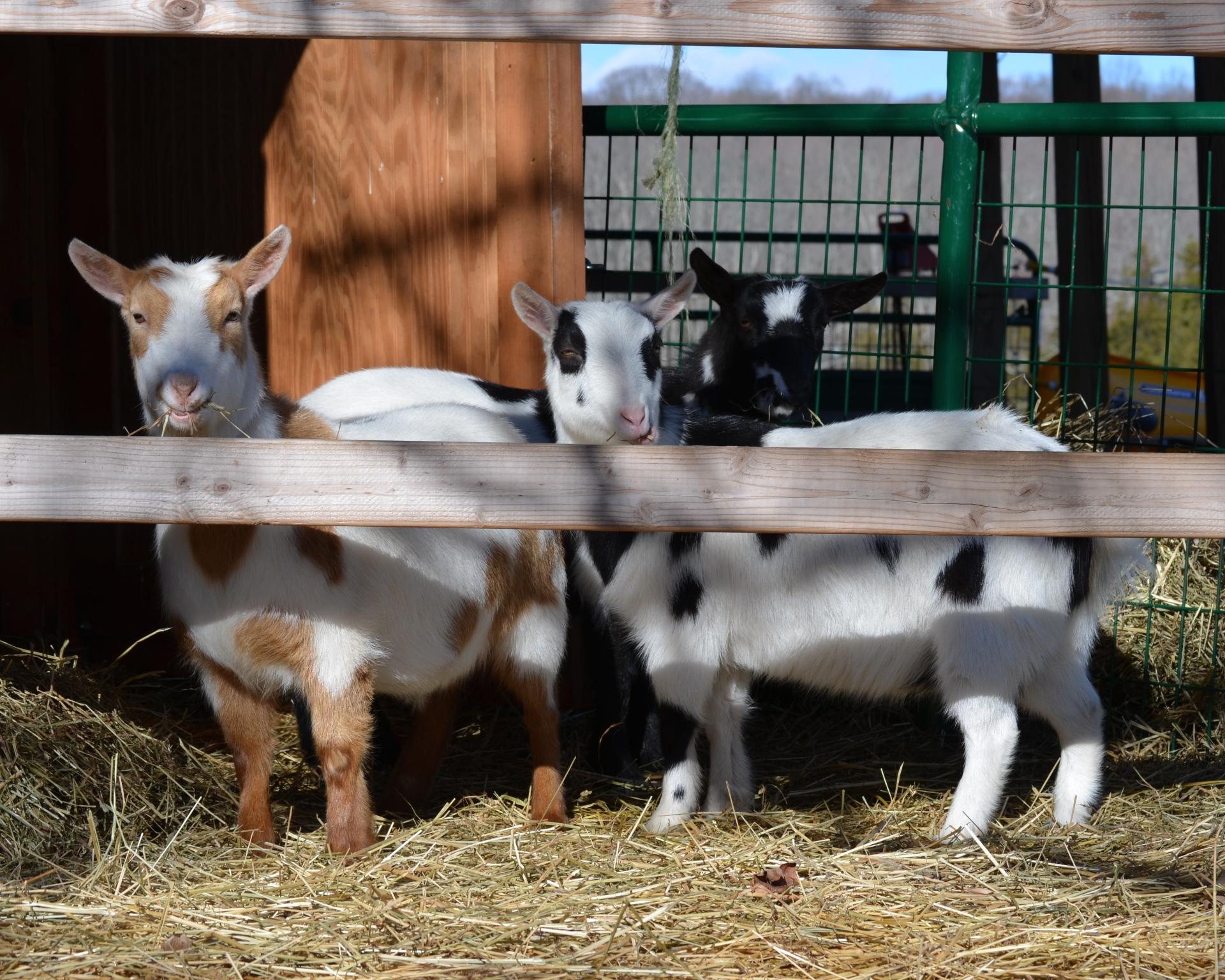Goaties