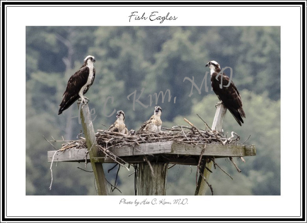 Fish Eagles (2)