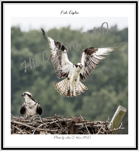 Fish Eagles (1)