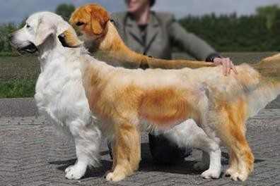 AMERICAN vs ENGLISH GOLDEN RETRIEVER