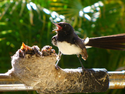 """Willy Wagtail nest"" by Andromeda44 at en.wikipedia. Licensed under CC BY 3.0 via Commons - https://"