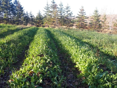 Cover crops for no-till organic vegetables